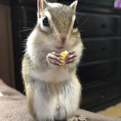 栗/旬の食材/ペット/おやつタイム/フォロー大歓迎/LIMIAファンクラブ/... 今年初めての大好きな栗🌰を食べるシマリス…