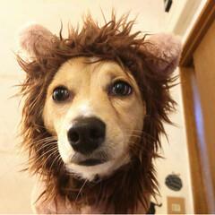 フォロー大歓迎/おうち/ペット/ペット仲間募集/犬/わんこ同好会/... お家にちっこい ライオンがーーっ!!🦁🦁…
