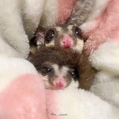 寒い/小動物/癒し/フクモモ/モモンガ/仲良し/... 寒い冬は2人で仲良く ぬくぬくするのがイ…