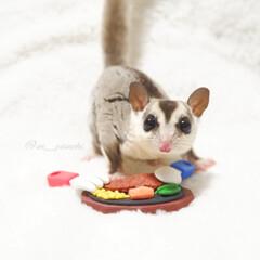 フクモモ/モモンガ/フクロモモンガ/うちの子ワンショット/癒し/小動物/... 僕とステーキ🥩食べませんか?!  食いし…