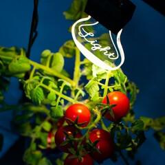 家庭菜園/インテリア/インテリアグッズ/観葉植物/室内園芸/トマト/... 「室内で家庭菜園ができるのは魅力だけど、…
