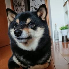 柴犬/豆柴/黒柴/フォロー大歓迎/ペット/ペット仲間募集/... 斜に構えるアンジュさん