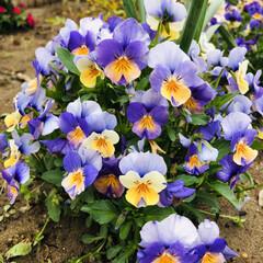 庭づくり/花のある暮し/風景/暮らし 色合いが可愛い💕 朝から花に癒される😊 …