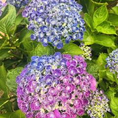 庭の花/おうち時間/雨を楽しもう/雨のしずく/ヒペリカム/ポップコーン/... 雨の中の紫陽花💙 グラデーションが綺麗で…