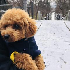 初めての雪/那須温泉神社/那須旅行/御朱印集め/トイプードル 寒かったね凛リン🐩🐾 舞ってる雪をペロッ…