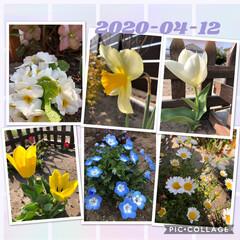 花のある暮らし/ガーデニング ネモフィラ💙増殖中😊 庭いっぱいにしたい…