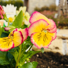 庭づくり/花のある生活/リミアの冬暮らし/フォロー大歓迎 ホームセンターで夫が花を買ってきたので2…