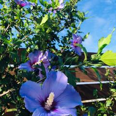 野菜の収穫/向日葵/ミニ薔薇/ムクゲ/フォロー大歓迎/至福のひととき 青空が見える爽やかな朝✨  庭のムクゲ🌺…