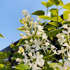 ライラック/令和記念樹/花のある暮らし 令和記念に植えた ライラック✿*:エンジ…