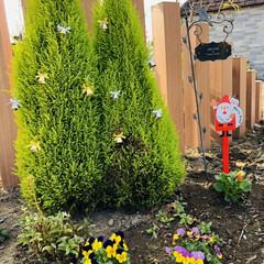 大掃除始めました/花のある暮らし/庭づくり/季節の花/ビオラ/葉牡丹/... 葉牡丹を迎えて庭の仲間入り😊 カラフルな…(3枚目)