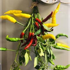 季節の野菜/野菜の収穫/新発売/おやつ カラフルで可愛い黄唐辛子💛 赤より甘い感…