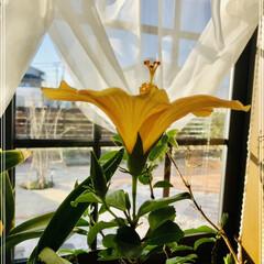 花のある暮らし/リビング日当たり良好/ハイビスカス黄色 ハイビスカスが上を向いて咲いてます🌼💕 …