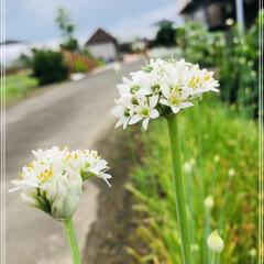 食べきれない/家庭菜園/ニラの花 この花はなんでしょ~(*・∀・*)?  …