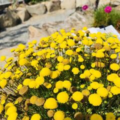 花のある暮し/花ほたる/令和の一枚/風景 黄色って元気になるね😊 今朝は日差しが眩…