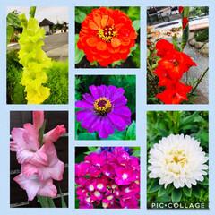 毎年の楽しみ/季節の花/庭づくり 今日の庭の花達🌸  グラジオラス ダリア…