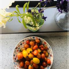 アイコ/トマトの収穫/リミアの冬暮らし/フォロー大歓迎 トマトハウスで今年最後の収穫🍅 今年もフ…