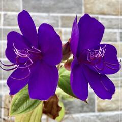 水やり完了/花のある暮らし/シコノボタン/薔薇/ガーデニング/花 今日の庭の花(✿´∀`✿)  今年も咲い…