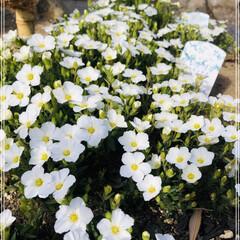 花のある暮らし/アラナリア モンタナ 去年のGWにひたち海浜公園で白のネモフィ…