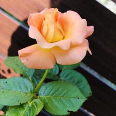 花のある暮らし/バラ モナ・リザ/野菜の収穫/水やり完了/プチぷよトマト/野菜の花/... モナリザが咲きました🌹💫 この時期は少し…