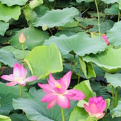 朝活/花に癒される/花好きな人と繋がりたい/蓮の花 一面が蓮の花🌸  家事を早々に終わらせ前…(4枚目)