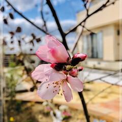 花のある暮らし/庭づくり/アーモンドの木 アーモンドの花が咲きました🌸