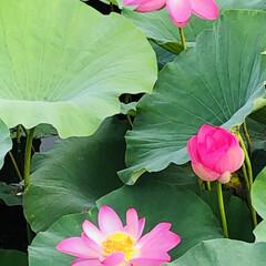 朝活/花に癒される/花好きな人と繋がりたい/蓮の花 一面が蓮の花🌸  家事を早々に終わらせ前…(2枚目)