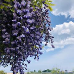 今年やっと見れた/藤の花/お散歩/おでかけ まだ咲いてました藤の花💜 今年はもう諦め…
