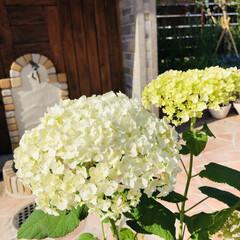 花のある暮らし/ヒペリカム/シモツケ/アナベル アナベルが庭の仲間入り(✿´∀`✿)  …