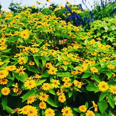 花に癒される/花好きな人と繋がりたい/浮き花/おでかけ 浮き花が涼しげでした🌼*・ 向日葵  マ…(4枚目)