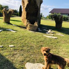 復興わらアート/散策ウォーキング/秋を感じる/おでかけ/トイプードル 稲わらアート🌾 巨大オブジェが完成したの…(4枚目)