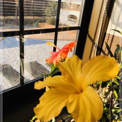 花のある生活/ハイビスカス/暮らし ハイビスカス🌺 この時期でも未だに毎日黄…
