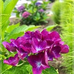 庭/紫陽花/グラジオラス 庭仕事にはピッタリの気温😊 元気すぎる雑…