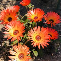 ガーデニング/庭の花 休日に発見❣️ 毎朝出勤時は3枚目のph…