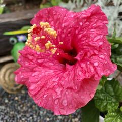 ハイビスカス常夏の香り/ガーデニング/花のある暮らし/ダイソー ハイビスカス 常夏の香り🌺 可愛いピンク…
