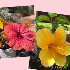花のある暮らし/ハイビスカス/向日葵/小玉スイカ ハイビスカス🌺 昨年の夏に購入してからず…