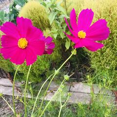 コスモス/シモツケ/庭の花/雨の一日/天気頭痛 今日はヒンヤリ雨の1日です;(´•௰•`…