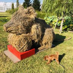 復興わらアート/散策ウォーキング/秋を感じる/おでかけ/トイプードル 稲わらアート🌾 巨大オブジェが完成したの…(5枚目)