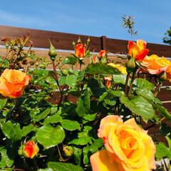 薔薇/私のお気に入り/花のある暮し/至福のひととき おはようございます😊 薔薇🌹が咲きました…
