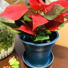 お買い得品/サザンクロス/ポインセチア/季節の花/セリア キラキラポインセチア.゚+.(´∀`*)…