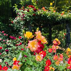 薔薇/御朱印/円通院/松島/おでかけ/おでかけワンショット 松島の円通院バラ🥀が見頃だと聞いて行って…(2枚目)
