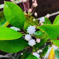 庭づくり/花のあるくらし/カルミア おはようございます😊 霧雨の肌寒い朝です…