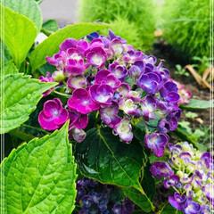 庭のある暮らし/ポップコーン/紫陽花/雨季ウキフォト投稿キャンペーン/フォロー大歓迎/至福のひととき/... 雨上がりの朝☁️☀☔ 庭の紫陽花が咲き始…
