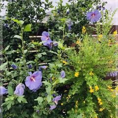 気分転換したい/花のある暮らし/ムクゲ ムクゲの花が咲きました💜 黄色の花と並ん…