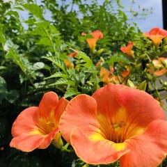 ノウゼンカズラ/庭づくり/毎年の楽しみ/庭の花 貴重な晴れ間を大事に過ごそう😄☀ 庭のノ…