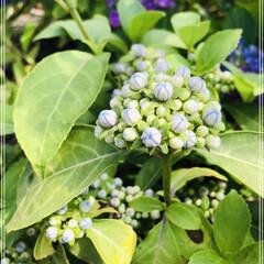 常山あじさい/花のある暮らし/庭づくり 常山あじさい 碧のひとみ💙 まだ蕾ですが…