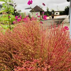 トイプードル/庭づくり/コキアの紅葉 コキア🌳が色づいてきました❤️ 先日の雨…