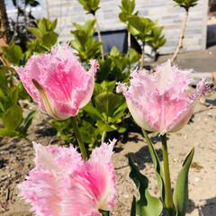暮らし 花びらフリンジ咲のチューリップ 品種はハ…(2枚目)