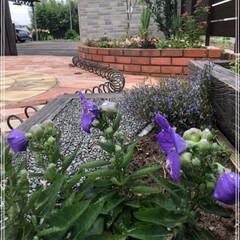 庭づくり/キキョウ/雨季ウキフォト投稿キャンペーン/フォロー大歓迎/風景 桔梗が咲きました😊 花開く前の風船みたい…