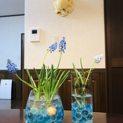 花のある暮らし/ムスカリ/ダイソー/最近買った100均グッズ ムスカリの球根をダイソーで見つけた丸めの…
