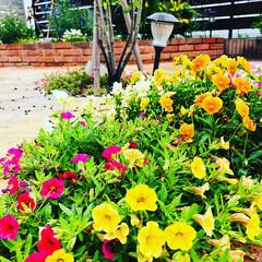 フォロー大歓迎/ひまわり/紅花🧡/ミックスフラワー/庭づくり/暮らし 今日の庭🌼*・ どんより曇り空☁☁☁です…